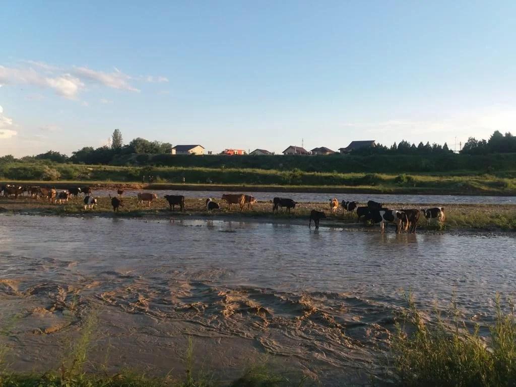 """65 de vite, salvate de pompieri de pe o """"insulă"""" formată pe Teleajen (imagini)"""