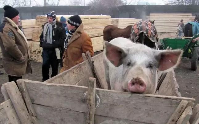 oltenii care au ramas fara porci