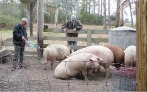 Pesta porcină africană, la granița județului Olt