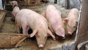 Noi focare de pestă porcină în județ