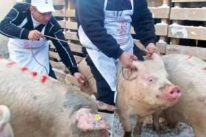 Pesta porcină africană, sub control la Olt