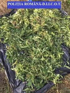 Traficanții de droguri din Olt, călcați de mascați
