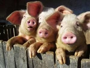 DSVSA Olt, sfaturi pentru crescătorii de animale