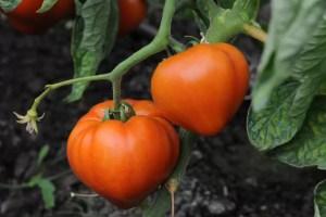 Programul de sprijin pentru tomate continuă și în 2020