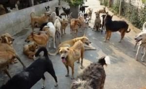 Caracal:Soluții pentru problema câinilor fără stăpân