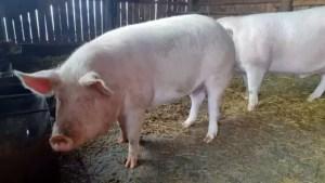 Adio porci în propria ogradă? Proiect controversat din cauza pestei porcine. Deputat: 'O să rămânem, cumva, la mâna samsarilor'