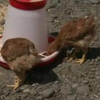 Păgubiți, după ce au cumpărat pui cu gripă aviară. Păsările au murit în câteva zile, iar oamenii vor banii înapoi