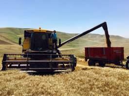 ilk buğday hasadı