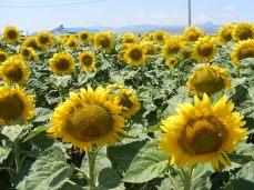 floarea-soarelui (3)