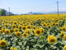 floarea-soarelui (6)