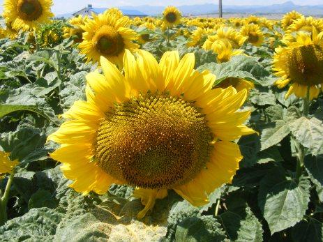 floarea-soarelui (7)