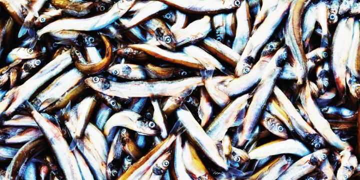 Extreme closeup of caplin fish