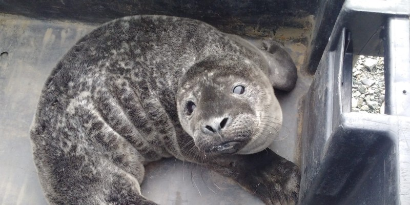 Staff from Memorial helped care for this Harbour seal pup.