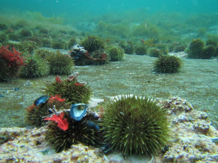 Urchin barrens
