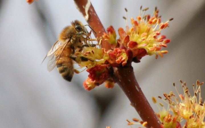 Honey bee foraging in Red Maple flowers.