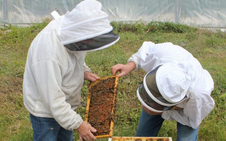 Beekeepers examining capped brood (pupae) on a frame.