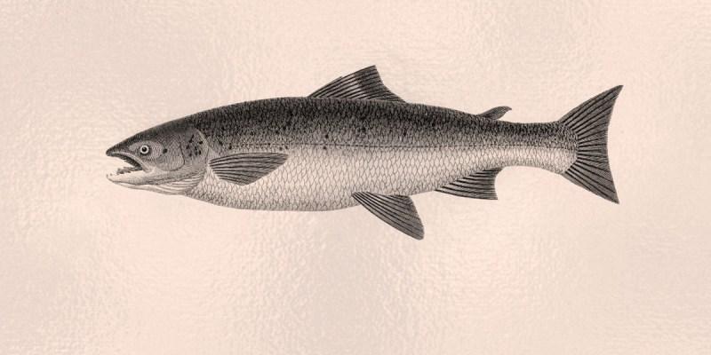 Drawing of Atlantic salmon