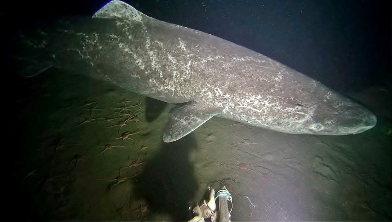 Greenland sharks were identified by skin markings. The shark pictured here has notable scarring.