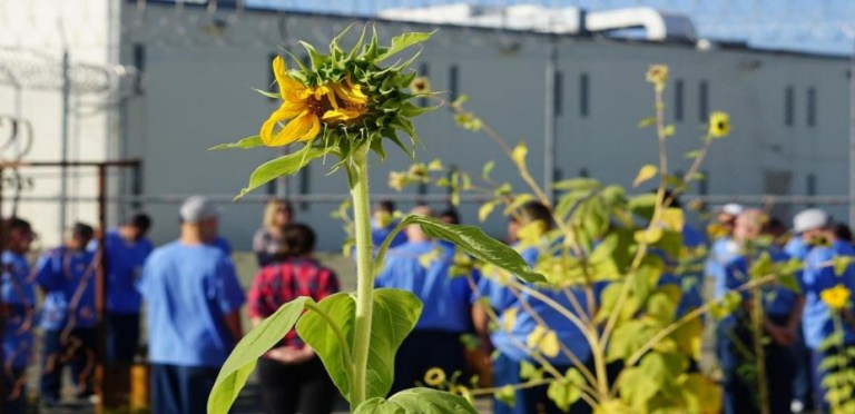 A sunflower in the foreground with male prisoners in the background, back on. The prison is shown in the far ground.