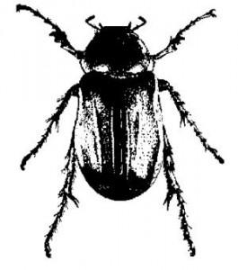 Gazette » June-bug