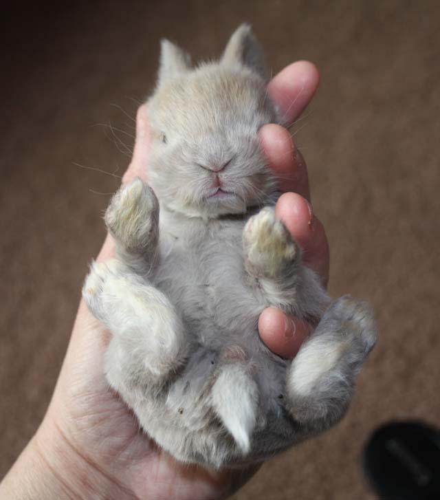 English Angora Rabbits  Green Barn Farm Blog