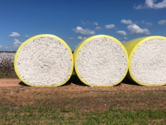 Brasil vai plantar 13% menos algodão