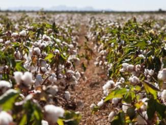 Aumenta oferta de algodão orgânico