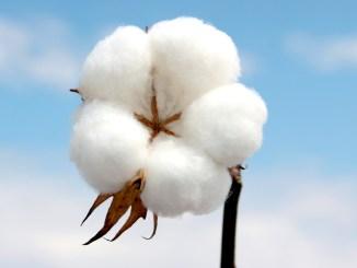 Preços do algodão oscilam com força