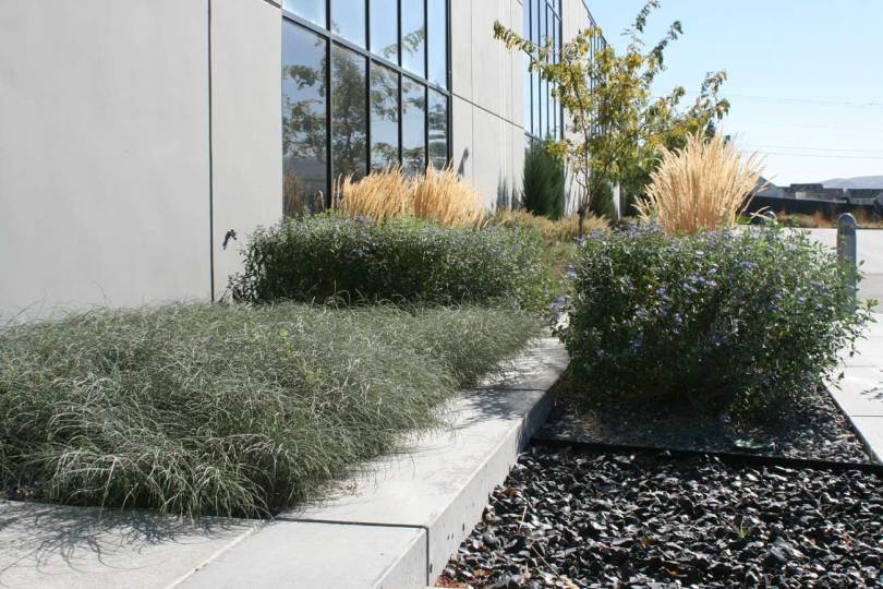 Planting design including blue mist shrub, feather reed grass, and ribbon grass