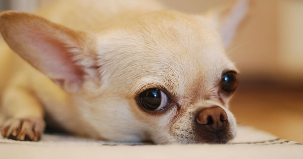 A sad looking chihuahua dog lying on the ground after a Wicklow gay couple's pet dog was beheaded