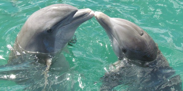 two dolphins rubbing their noses together