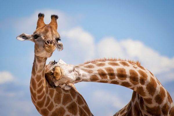 one giraffe leaning its head on another giraffe