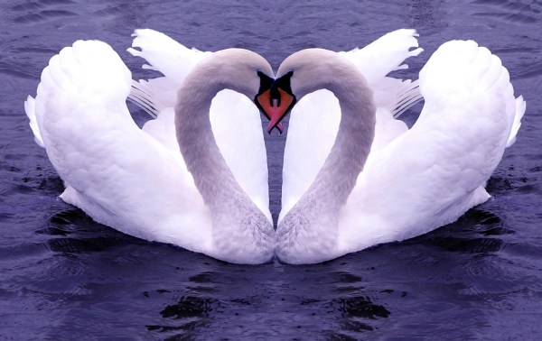 two swans making a heart shape with their necks