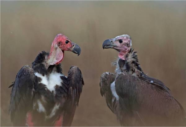 two vultures looking at each other