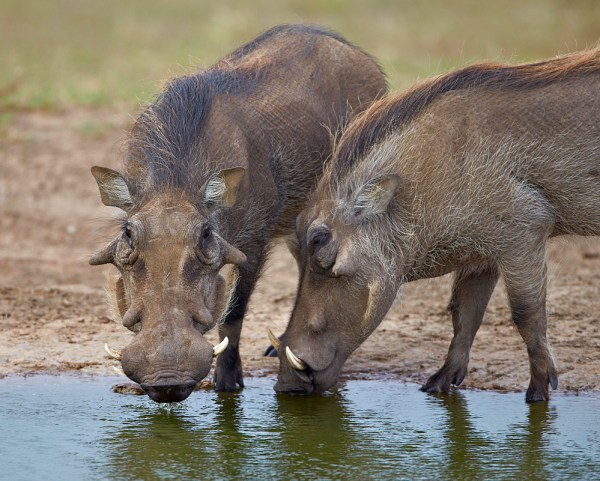 two warthogs drinking from a lake