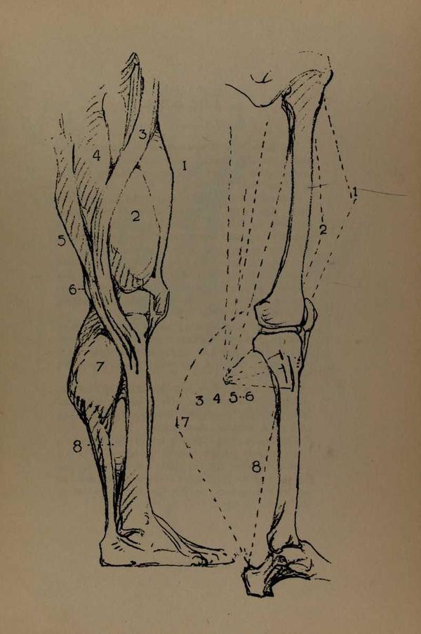 anatomia-constructiva-george-bridgman-musculos-piernas