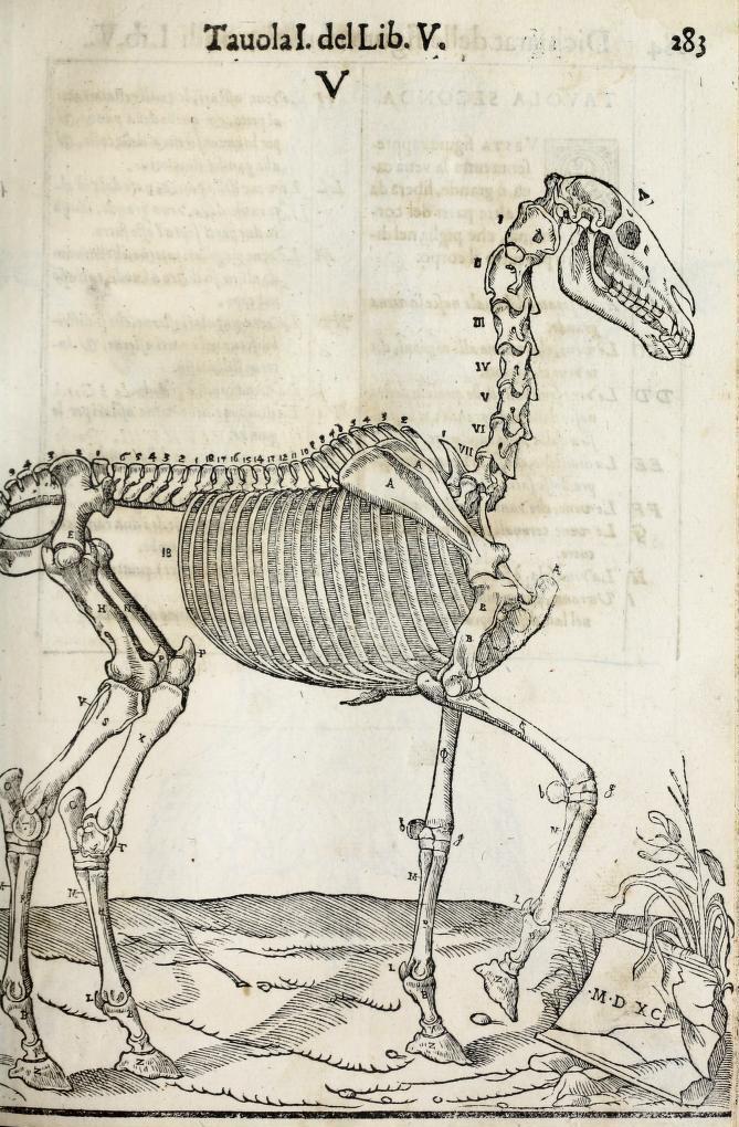 anatomia-caballo-carlo-ruini-page-283