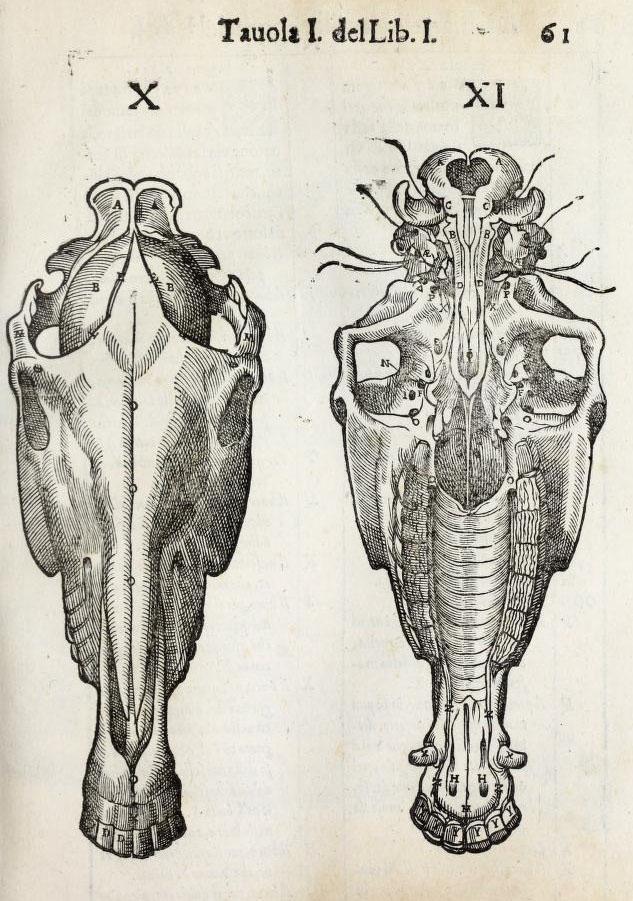 anatomia-caballo-carlo-ruini-page-61