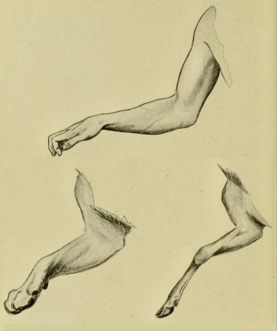 anatomia-humana-para-artistas-anatomia-comparada-de-las-extremidades-humanas-y-animales
