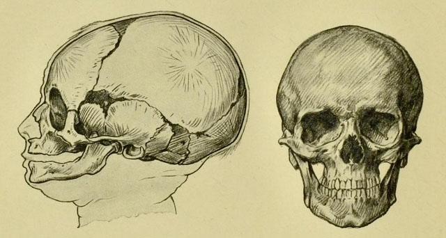 anatomia-humana-para-artistas-comparacion-craneo-niño-y-adulto
