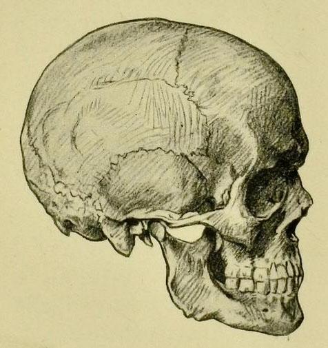 anatomia-humana-para-artistas-vista-de-perfil-de-un-craneo-adulto