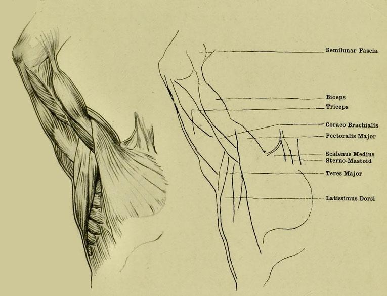 anatomia-humana-para-artistas-los-musculos-superficiales-de-brazo-y-axila