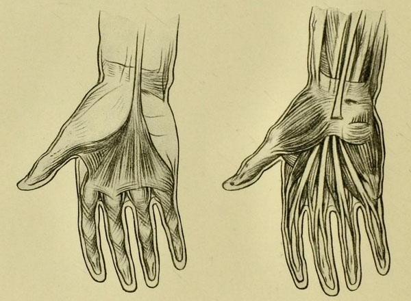 anatomia-humana-para-artistas-musculos-y-tendones-de-la-palma