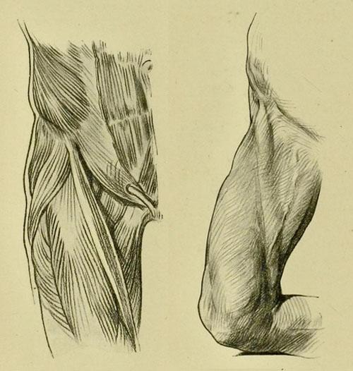 anatomia-humana-para-artistas-detalle-del-musculo-sartorio
