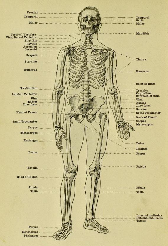 anatomia-humana-para-artistas-esqueleto-masculino-vista-frontal