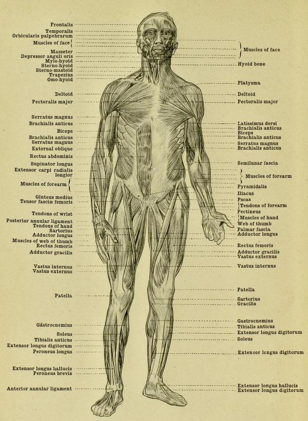 anatomia-humana-para-artistas-musculos-del-cuerpo-vista-frontal