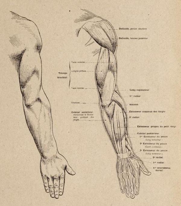 anatomia-artistica-hombre-paul-richer-brazo-dorso-musculatura