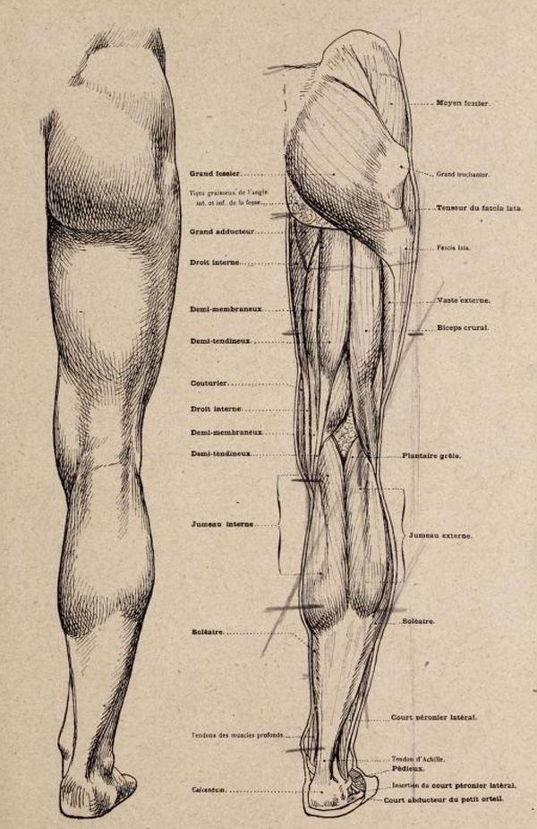 anatomia-artistica-hombre-paul-richer-pierna-dorsal-musculatura