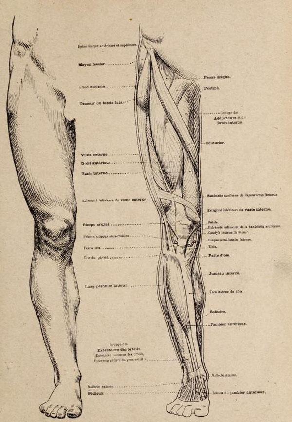 anatomia-artistica-hombre-paul-richer-pierna-frontal-musculatura