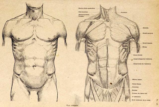 anatomia-artistica-hombre-paul-richer-torso-musculatura